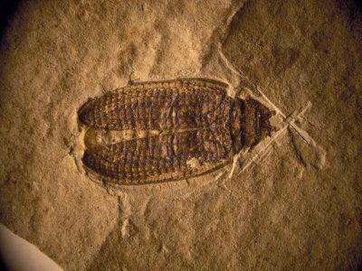 https://imgc.artprintimages.com/img/print/fossil-beetle-found-at-sihetun-china_u-l-p4dt5m0.jpg?p=0