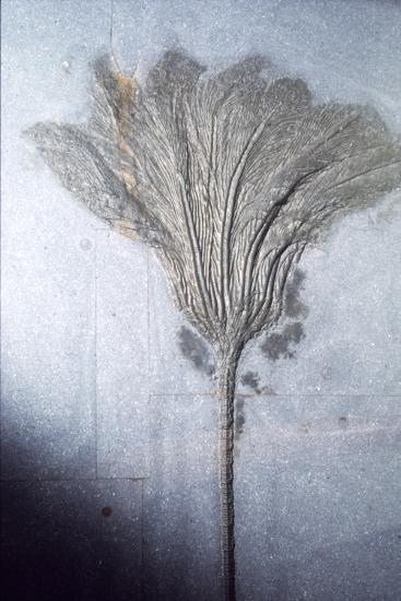 Fossil. Crinoid Lily, Ordovician to Pleistocene period, c450 million-10,000 BC-Unknown-Giclee Print