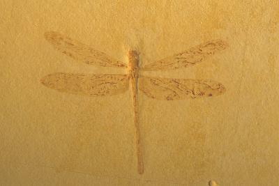 Fossil Dragonfly, Green River Formation--Photographic Print