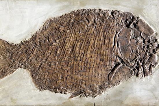 Fossil Fish, Dapedium Punctatus-Dirk Wiersma-Photographic Print