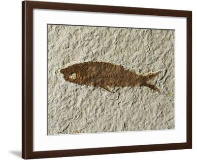 Fossil fish--Framed Photographic Print