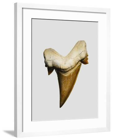 Fossil mackerel shark tooth--Framed Photographic Print