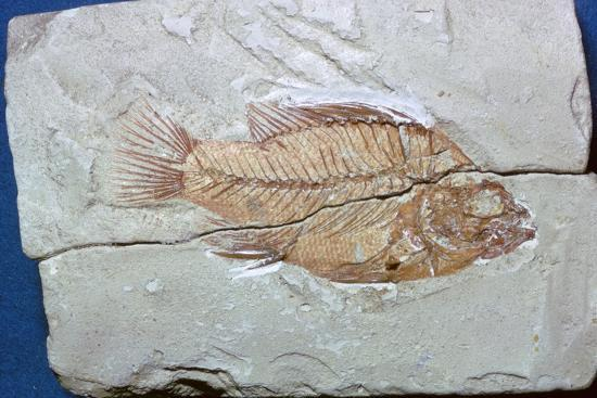 Fossil of a fish. Artist: Unknown-Unknown-Giclee Print