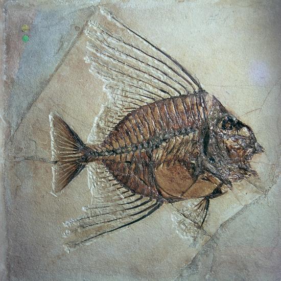 Fossil of Acantonemus Subaureus-Unknown-Giclee Print