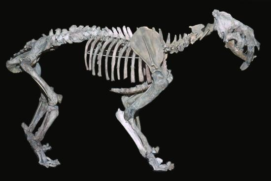 Fossil skeleton of a sabre-toothed tiger-Unknown-Giclee Print