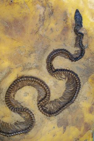 Fossil Snake from the Messel Lake Oil Shale Deposit