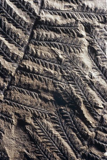 Fossilised Fern-Dirk Wiersma-Photographic Print