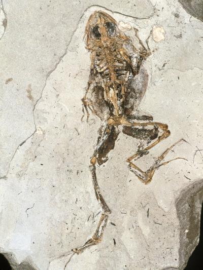 Fossilised Frog Embedded In Rock-Volker Steger-Photographic Print