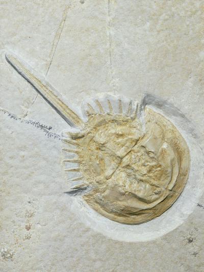 Fossilised Horseshoe Crab-Volker Steger-Photographic Print