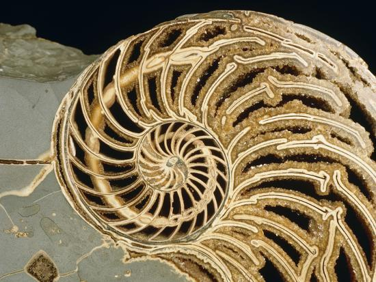 Fossilized Shell of Nautilus Striatus-Sinclair Stammers-Photographic Print