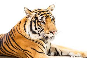Siberian Tiger Isolated by fotoslaz