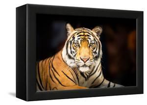Siberian Tiger by fotoslaz