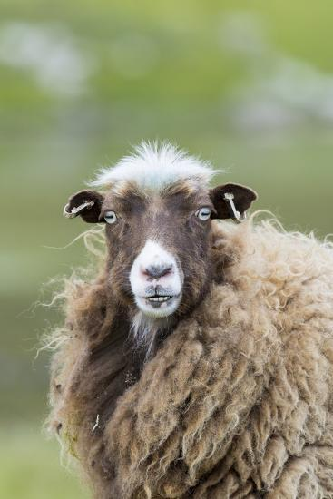 Foula Sheep on the Island of Foula. Shetland Islands, Scotland-Martin Zwick-Photographic Print
