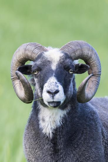 Foula Sheep on the Island of Foula. Shetland Islands, Scotland-Martin Zwick-Photographic Print