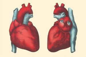 Anterior and Posterior Views of the Heart by Found Image Press