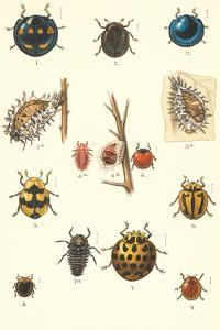 Introduced Australian Ladybugs by Found Image Press