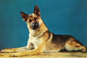 Quizzical German Shepherd by Found Image Press