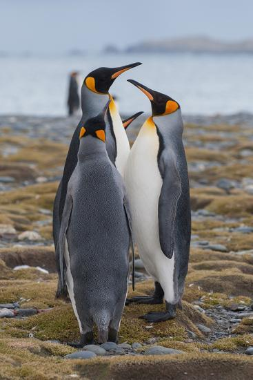 Four Adult King Penguins Stand on a Beach-Tom Murphy-Photographic Print