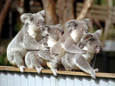 Four Australian Koalas are Shown on a Fence at Dreamworld on Queensland's Gold Coast--Photographic Print