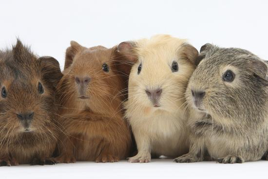 Four Baby Guinea Pigs, Each a Different Colour-Mark Taylor-Photographic Print