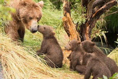 Four Bear Cubs Greet Mother beside Tree-Nick Dale-Photographic Print