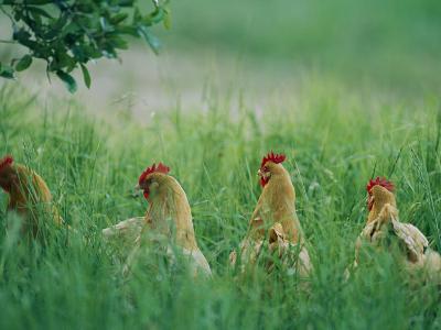 Four Buff Orpington Hens in Tall Grass-Joel Sartore-Photographic Print