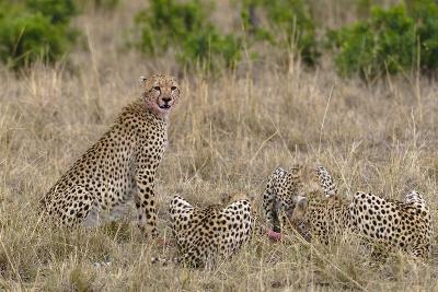 Four Cheetahs, Acinonyx Jubatus, Feeding on a Wildebeest-Sergio Pitamitz-Photographic Print