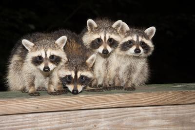 https://imgc.artprintimages.com/img/print/four-cute-baby-raccoons-on-a-deck-railing_u-l-q105oio0.jpg?p=0