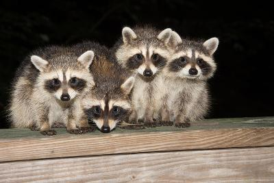 Four Cute Baby Raccoons on A Deck Railing-EEI_Tony-Photographic Print