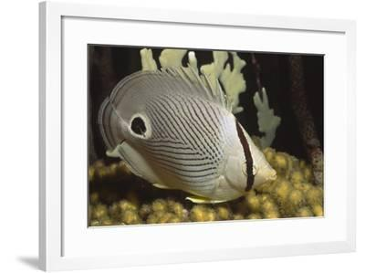 Four Eye Butterfly Fish-Hal Beral-Framed Photographic Print