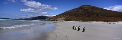 Four Gentoo Penguins Standing on the Beach, Falkland Islands--Photographic Print