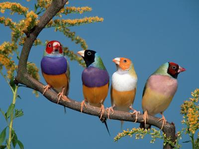 Four Gouldian Finches-Petra Wegner-Photographic Print