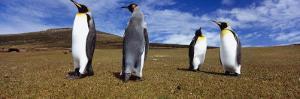 Four King Penguins Standing on a Landscape, Falkland Islands