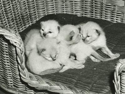 Four Kitten in Wicker Basket-George Marks-Photographic Print