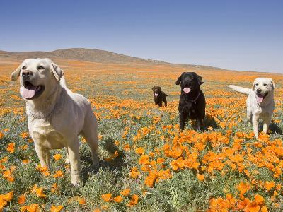 Four Labrador Retrievers Standing in a Field of Poppies at Antelope Valley in California, USA-Zandria Muench Beraldo-Photographic Print