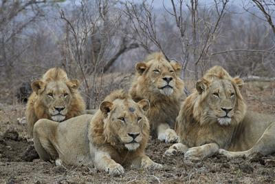 four male lion (panthera leo), kruger national park, south africafour male lion (panthera leo), kruger national park, south africa, africa photographic print by james hager art com