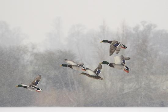 Four Mallard Drakes and a Duck Flying over Frozen Lake in Snowstorm, Wiltshire, England, UK-Nick Upton-Photographic Print