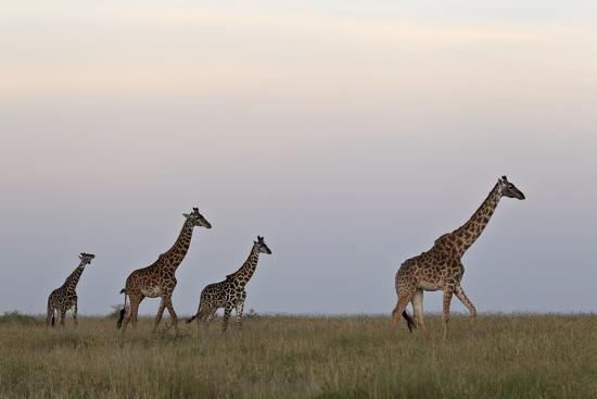 Four Masai Giraffe (Giraffa Camelopardalis Tippelskirchi)-James Hager-Photographic Print