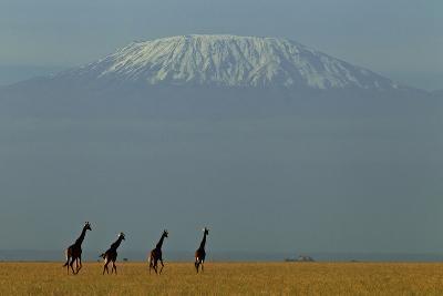 Four Masai Giraffes on a Grass Plain at the Base of Mount Kilimanjaro-Beverly Joubert-Photographic Print