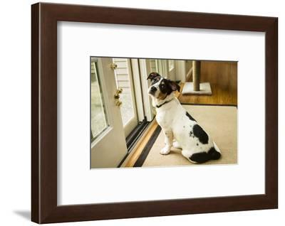 Four month old Fox Terrier Hound mixed breed puppy waiting at the door to go outside.-Janet Horton-Framed Photographic Print