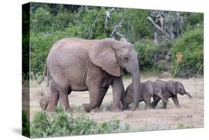 Baby African Elephants and Mom by Four Oaks