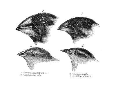 Four or the Species of Finch Observed by Darwin on the Galapagos Islands--Giclee Print