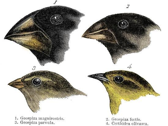 Four or the species of finch observed by Darwin on the Galapagos Islands-Unknown-Giclee Print