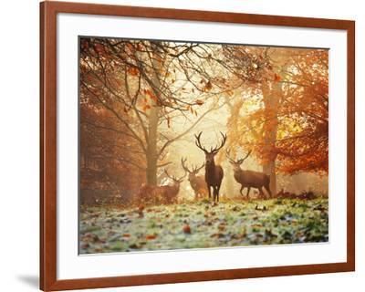 Four Red Deer, Cervus Elaphus, in the Forest in Autumn-Alex Saberi-Framed Photographic Print