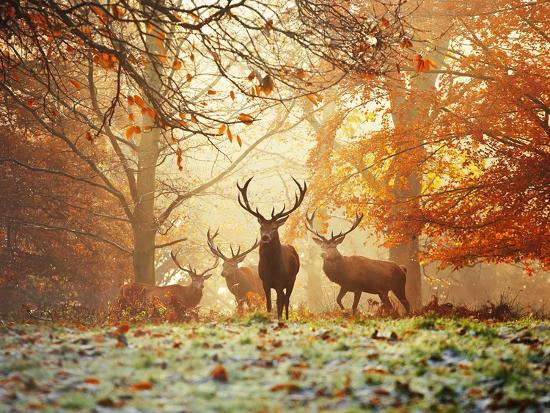 Four Red Deer in the Autumn Forest-Alex Saberi-Art Print