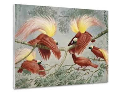 Four Rival Male Greater Birds of Paradise Vie for Female's Attention-Walter Weber-Metal Print