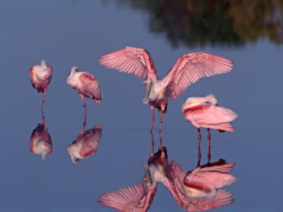 Four Roseate Spoonbills Standing in Shallow Water, Ding Darling NWR, Sanibel Island, Florida, USA-Charles Sleicher-Photographic Print