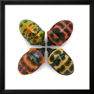 Four Shield Bugs-Christopher Marley-Framed Photographic Print