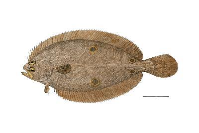 Four-Spotted Flounder Specimen From Woods Hole, Massachusetts, US Fish Commission--Photographic Print