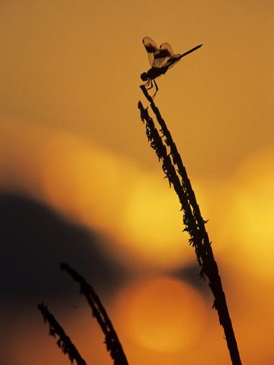 Four-Spotted Pennant, Welder Wildlife Refuge, Sinton, Texas, USA-Rolf Nussbaumer-Photographic Print